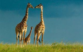 Фото бесплатно жирафы, семья, детеныш