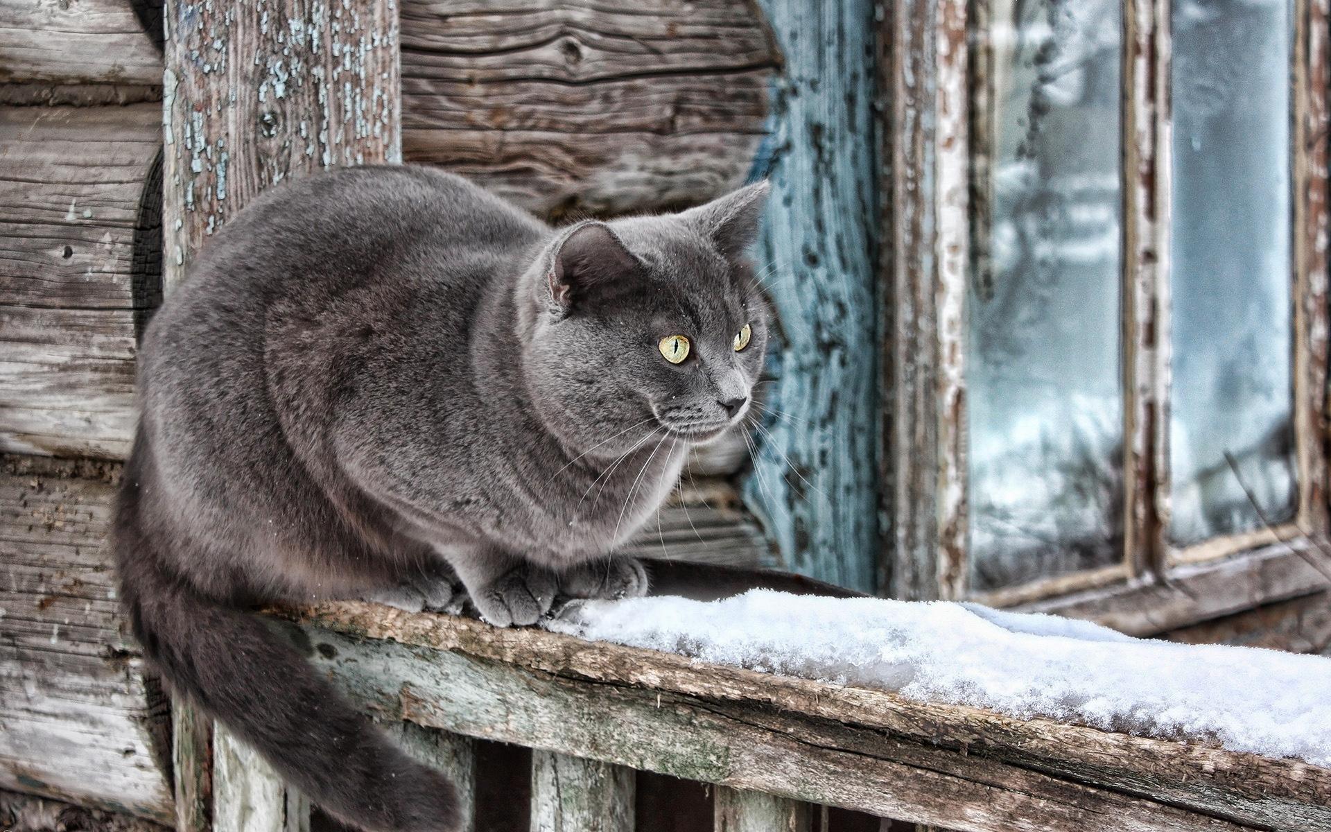 фото серые большие коты фотографу