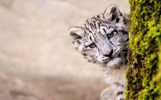 Фото бесплатно леопард, котенок, морда