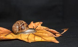 Обои лист, улитка, макро