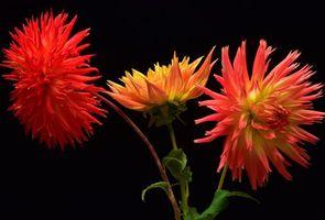 Фото бесплатно цветы, георгин, георгины, флора
