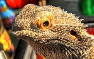Фото бесплатно игуана, ящерица, дракон