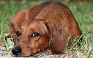 Фото бесплатно пес, такса, морда