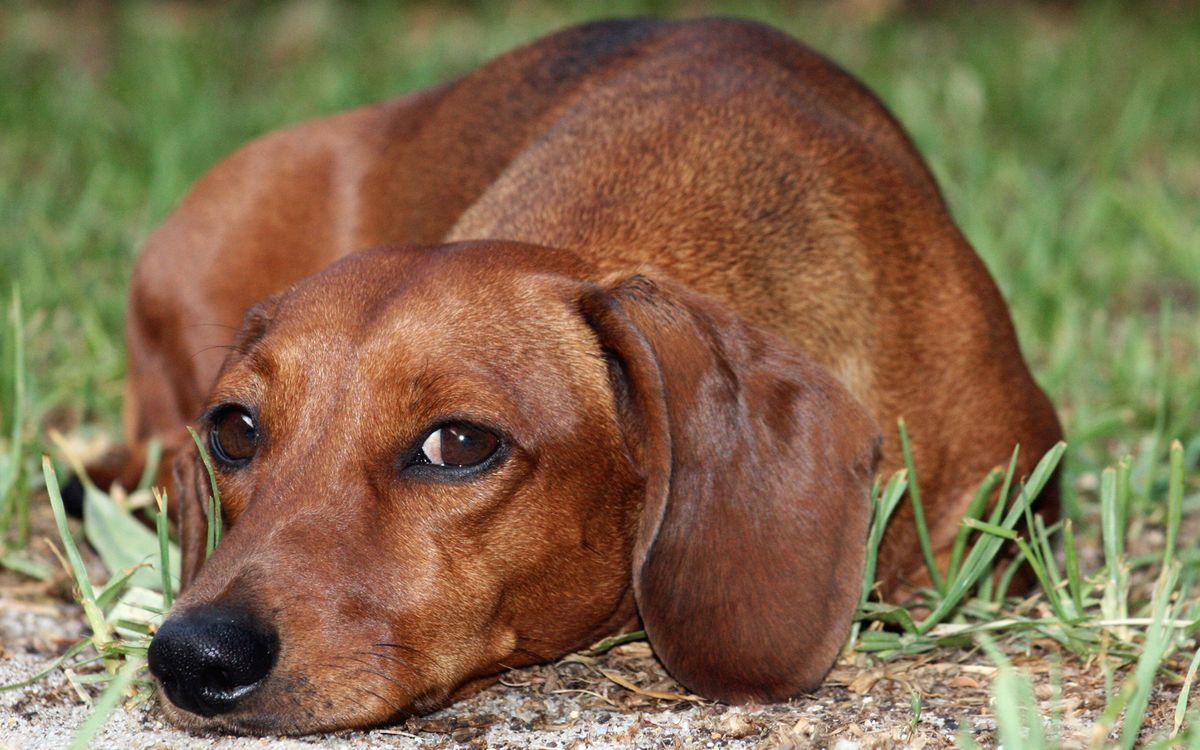 Обои пес, такса, морда, взгляд, лежит, трава картинки на телефон