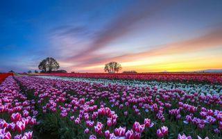 Бесплатные фото поле,тюльпаны,деревья,восход,недо