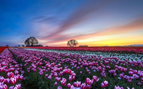 Фото бесплатно поле, тюльпаны, деревья