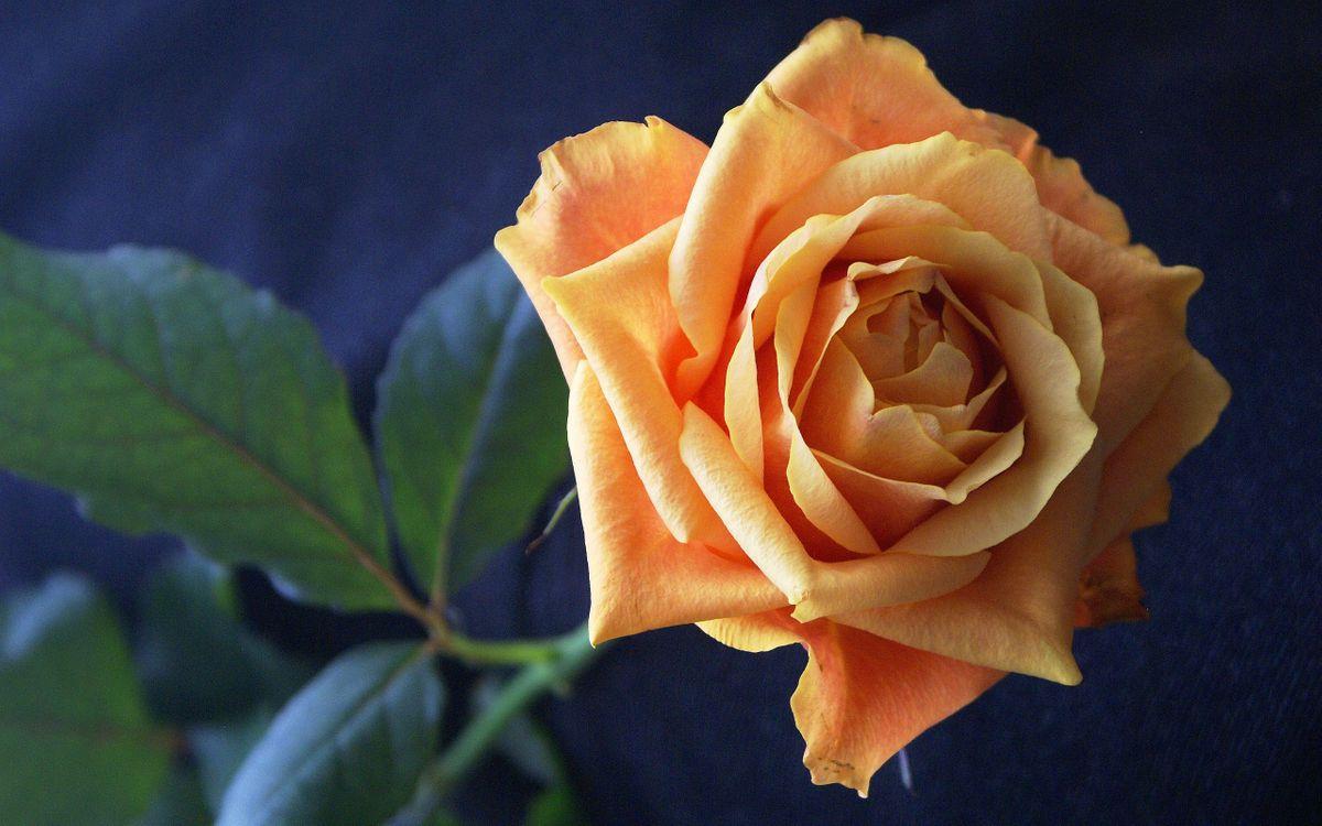 Фото бесплатно роза, лепестки, желтые - на рабочий стол