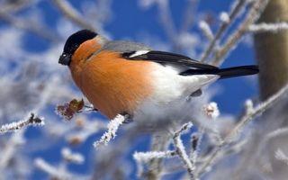 Бесплатные фото снегирь,клюв,крылья,хвост,перья,ветви,иней