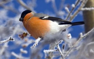 Фото бесплатно снегирь, клюв, крылья
