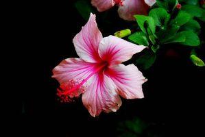 Фото бесплатно Гибискус, Hibiscus, цветы