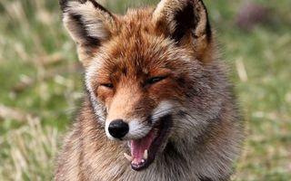Бесплатные фото лиса,морда,пасть,клыки,язык,шерсть
