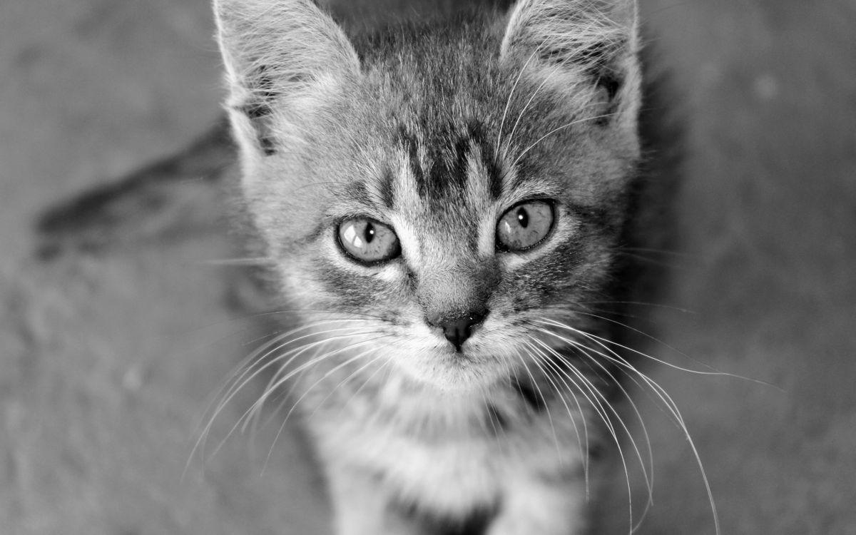 Фото бесплатно котенок, морда, глаза, усы, шерсть, черно-белое, кошки