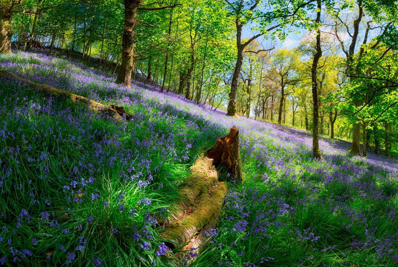 Фото бесплатно Trossachs, Шотландии, лес, деревья, косогор, цветы, природа, природа