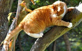 Бесплатные фото рыжий кот,дерево,когти
