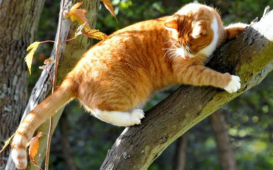 Заставки рыжий кот, дерево, когти