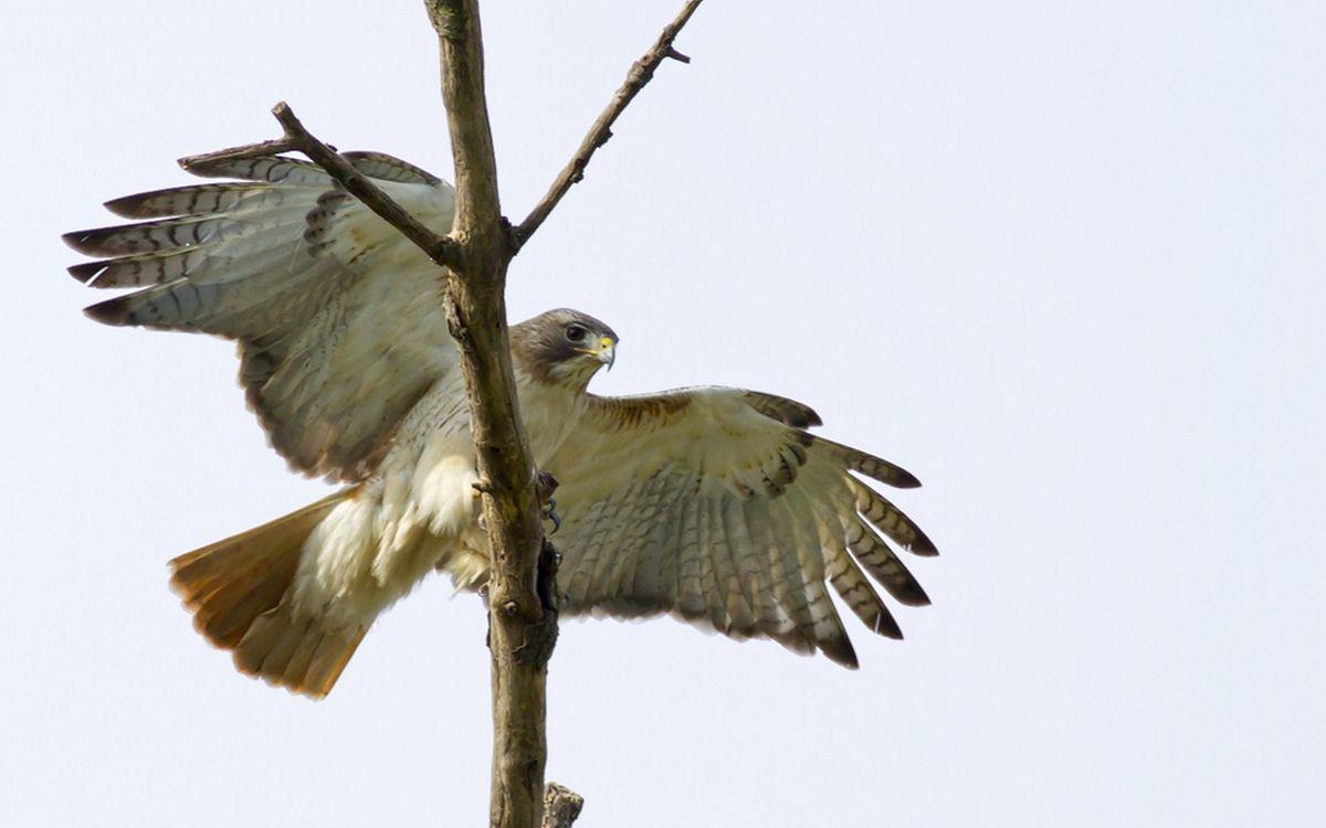 Фото бесплатно ветка, сокол, крылья - на рабочий стол