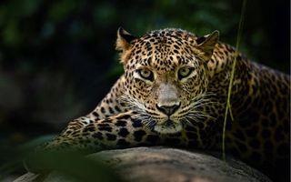 Фото бесплатно красивый леопард, мордашка, отдых