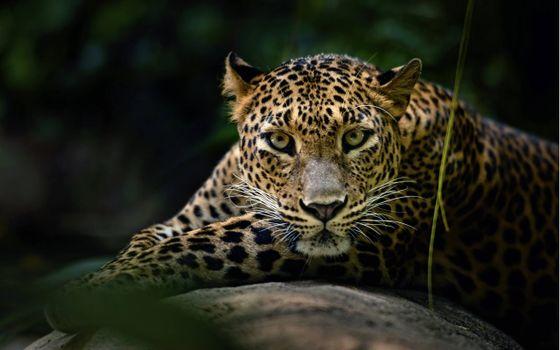 Заставки красивый леопард, мордашка, отдых
