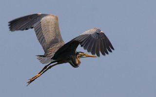 Фото бесплатно перья, полет, лапы