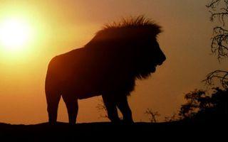 Бесплатные фото лев,силуэт,грива,растительность,небо,солнце,закат