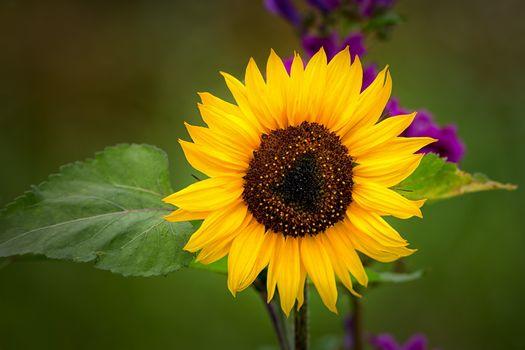 Заставки подсолнух, цветок, флора