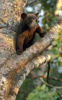 Бесплатные фото медвежонок,морда,лапы,шерсть,дерево,ветки
