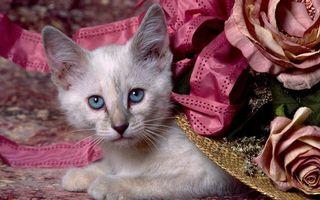 Бесплатные фото котенок,морда,глаза,голубые,лапы,шерсть,шляпа