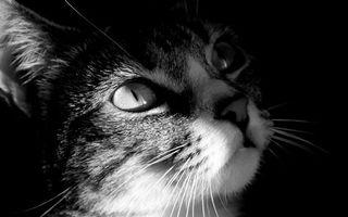 Бесплатные фото морда,уши,глаза,усы,шерсть,черно-белое