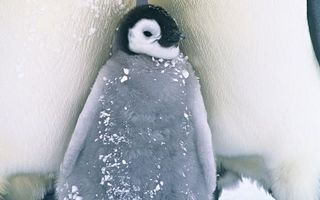 Бесплатные фото пингвины,детеныш,клюв,крылья,пух,снег