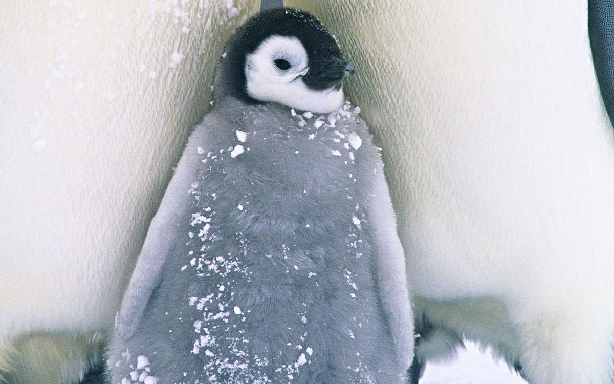 Фото бесплатно пингвины, детеныш, клюв - на рабочий стол