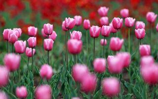 Бесплатные фото тюльпаны,лепестки,розовые,стебли,листья,зеленые