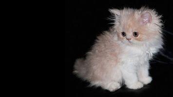Фото бесплатно котенок, персидский, пушистый