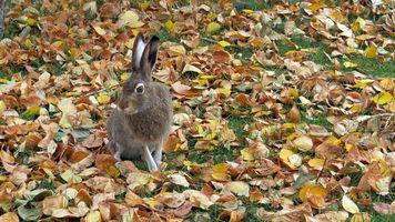 Фото бесплатно осень, заяц, кролик