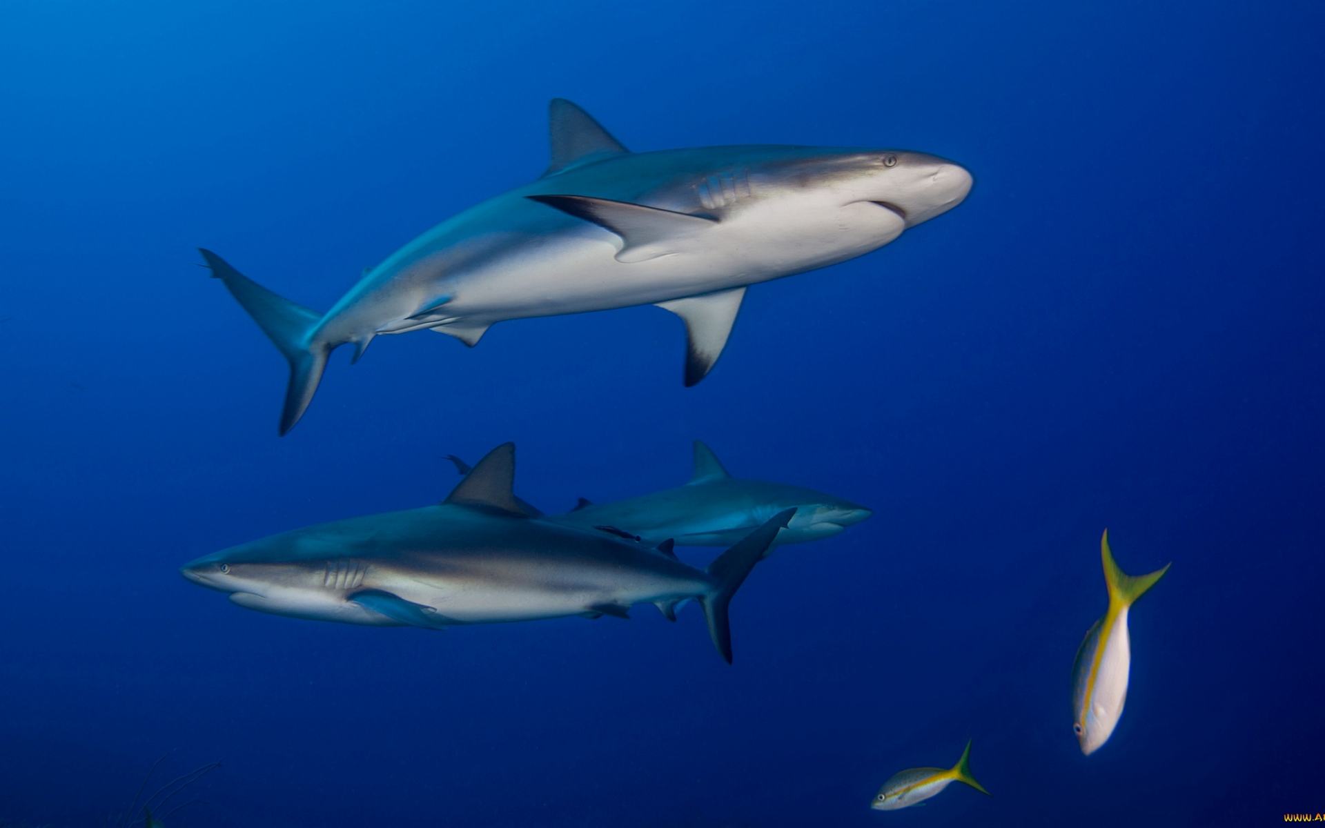 обои акулы, жабры, плавники, хвосты картинки фото