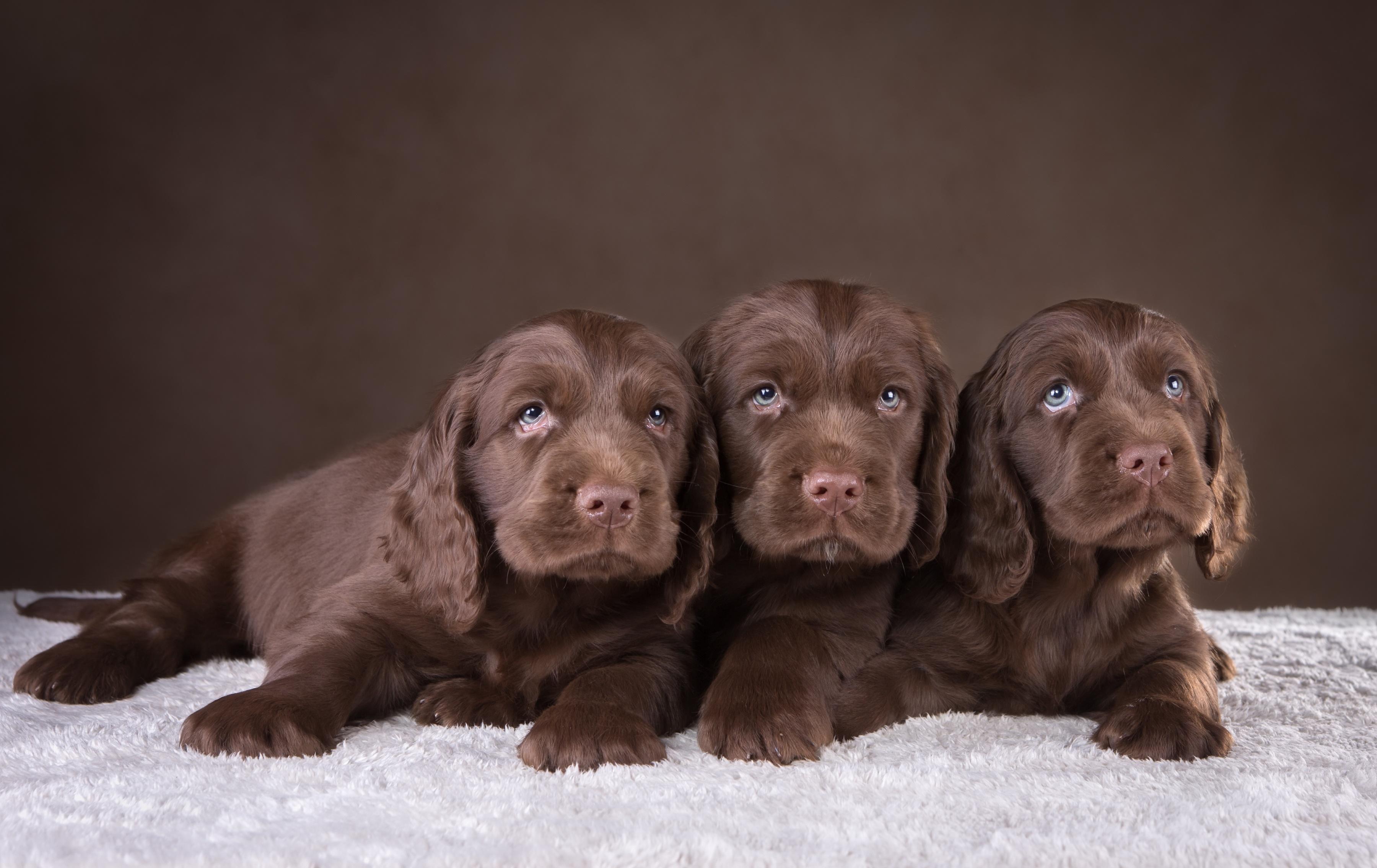 Обои щенки, шоколадный, спаниель, трио