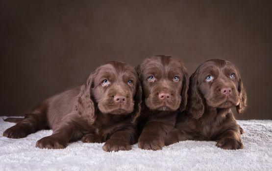Заставки щенки, шоколадный, спаниель