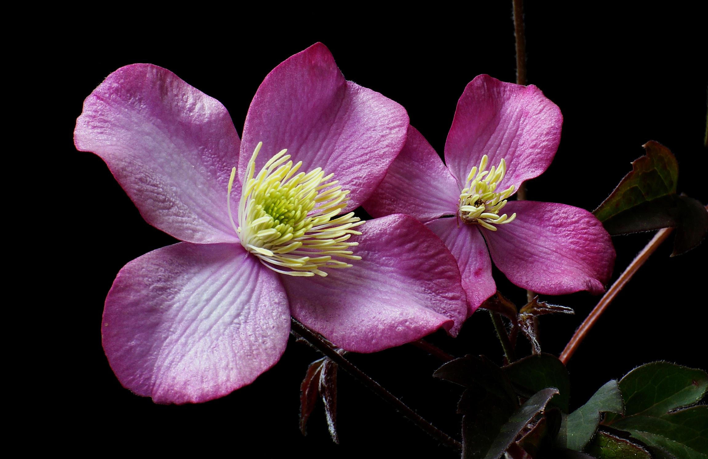 Обои орхидея, цветок, флора