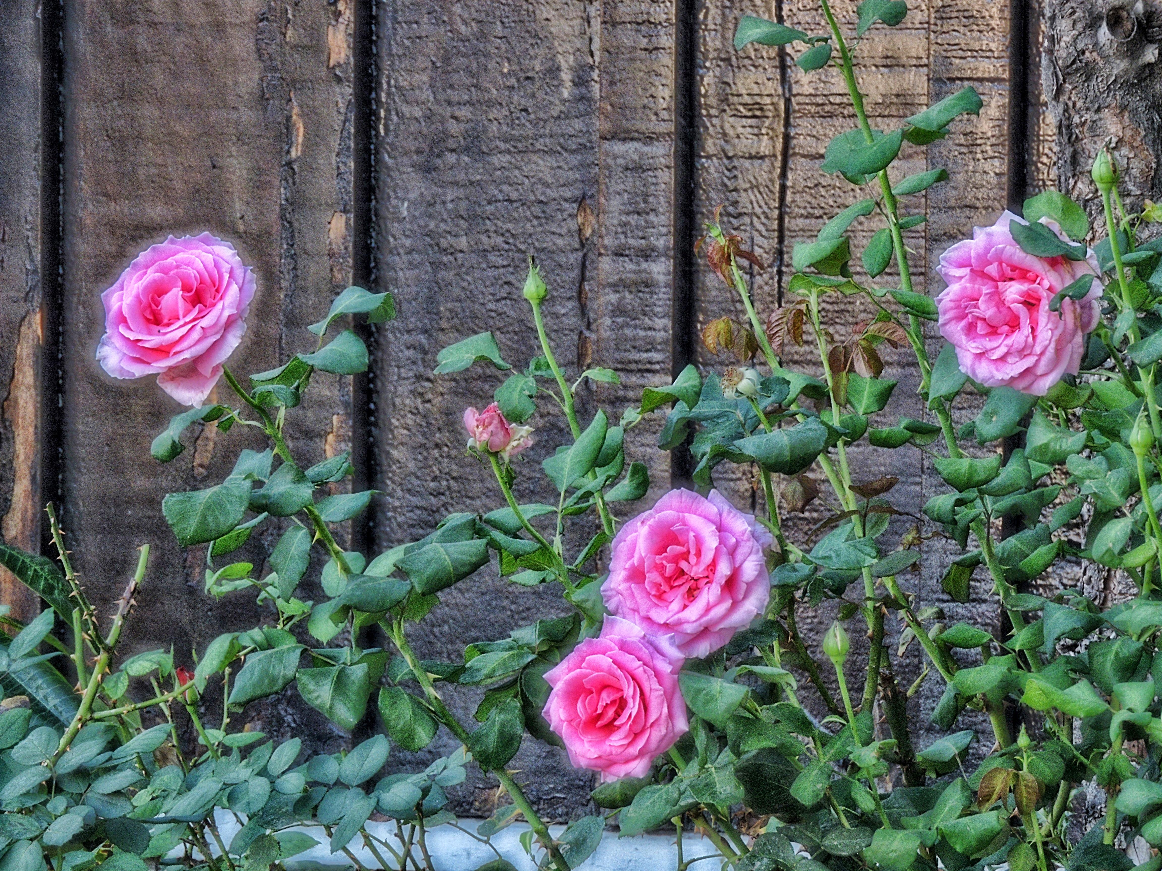 Обои розы, цветы, флора