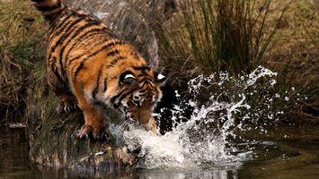 Бесплатные фото тигр, хищник, берег, коряга, вода, брызги
